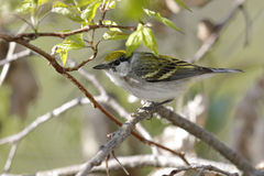 Female Chestnut-sided Warbler in Spring - Ontario, Canada Stock Images