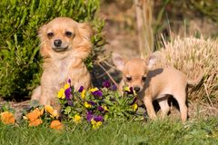 Female Chihuahua with puppy Royalty Free Stock Images
