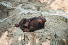 Female Chimpanzee Royalty Free Stock Images