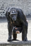 Female chimpanzee with baby. Female chimpanzee carrying its baby looking at visitors at a zoo Stock Photo