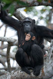 A female chimpanzee with a baby on mangrove trees. Republic of the Congo. Royalty Free Stock Images