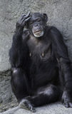 Female Chimpanzee Stock Photos
