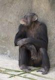 Female Chimpanzee Stock Photography