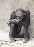 Female Chimpanzee with Head in Hand Royalty Free Stock Photography