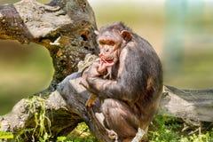 Female chimpanzee holding a calf. Image of a female chimpanzee holding a calf Stock Photo