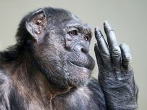 Chimpanzee portrait. A Female chimpanzee is looking at her fingers royalty free stock photography