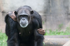 Female chimpanzee portrait looking straight into the camera with her baby cub. Visible grabbing hands on the back. Grayish out of focus background Stock Photo