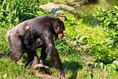 Female Chimpanzee walking with baby. A female chimpanzee walking with her baby hanging from her. Symbolizes motherhood, parenting and loving royalty free stock photo