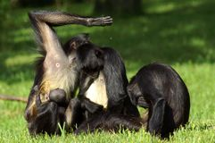 Female chimpanzees with cubs are engaged in grooming stock photos