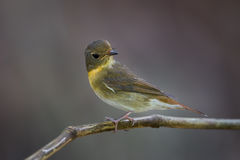 Female Chinese Blue Flycatcher Stock Photography