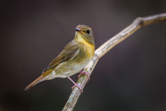 Female Chinese Blue Flycatcher(Cyornis glaucicomans) Royalty Free Stock Photography
