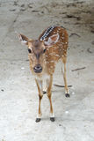 Female chital deer Royalty Free Stock Photography