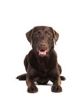 Female chocolate brown labrador retriever dog lying on the floor Stock Photos
