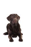 Female chocolate brown labrador retriever dog lying on the floor Royalty Free Stock Image