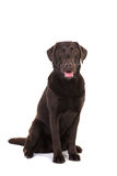 Female chocolate brown labrador retriever dog sitting with its m Stock Image