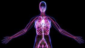 Female Circulatory System stock video footage