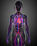 Female circulatory system Stock Photo