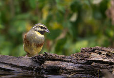 Female Cirl Bunting perching on wooden log Royalty Free Stock Photo