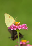 Female Cloudless Sulphur butterfly on a pink Zinnia Stock Photo