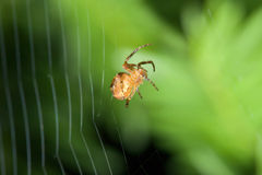 Female Cobweb Spider Royalty Free Stock Image