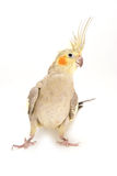 Female Cockatiel. Isolated on a White Background stock photography
