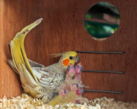 Female cockatiel with chicks in a nest box. A female cockatiel with five chicks in a nest box Royalty Free Stock Images