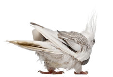 Female Cockatiel, Nymphicus hollandicus Stock Photography
