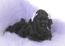 Female cocker spaniel puppy. At 7 weeks old Royalty Free Stock Image