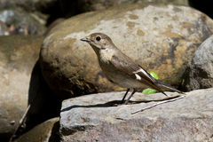 Female collared flycatcherswhich sits on a rock Royalty Free Stock Images