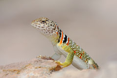 Female collared lizard Stock Image