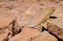 Female Collared Lizard. Basking in sunshine on rock in arid, semi-desert habitat, Utah Stock Photography