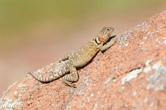 Female Collared Lizard Stock Photos