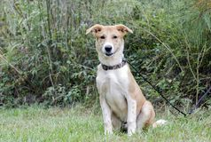 Collie Shepherd mixed breed mutt puppy dog Royalty Free Stock Photography