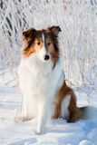 Collie sits in the snow Stock Image