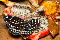 Female of Common Aarchduke butterfly on fruit Royalty Free Stock Photography