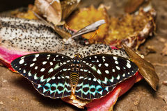 Female of Common Aarchduke butterfly on fruit Royalty Free Stock Photos