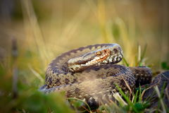 Female common adder  ready to strike Royalty Free Stock Image