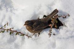 Female of Common blackbird bird Stock Images