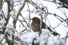 Female of Common blackbird bird Stock Image