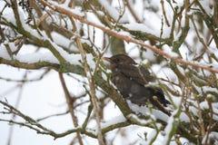 Female of Common blackbird bird Royalty Free Stock Images