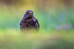 Female common blackbird looking Stock Images