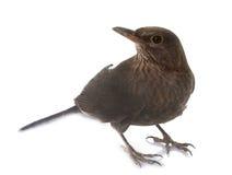 Female Common blackbird Stock Image
