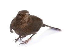 Female Common blackbird Stock Photo