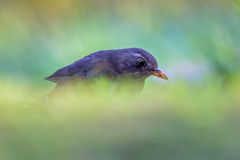 Female common blackbird Stock Image