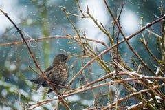 Female of Common blackbird Stock Photography