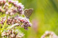 Female Common Blue butterfly Polyommatus icarus pollinating clos royalty free stock images