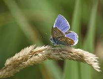 Female common blue Royalty Free Stock Photos