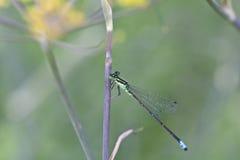 Female common bluetail damselfly (Ischnura heterosticta) Stock Photography
