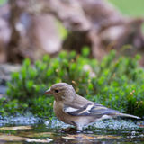 Female common chaffinch. Drinking water Stock Photo