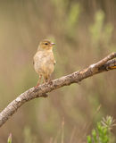 Female Common Chaffinch. A female Common Chaffinch (Fringilla coelebs) perching on a branch Stock Image